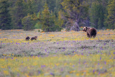 Poster featuring the photograph Grizzly With Spring Cubs by Dan Sproul