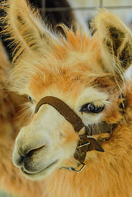 Happy Alpaca Poster