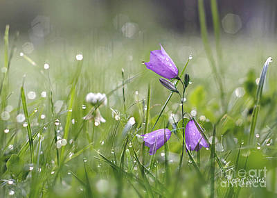 Harebells And Water Drops Poster