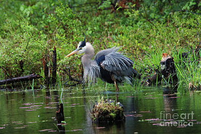 Heron In Beaver Pond Poster