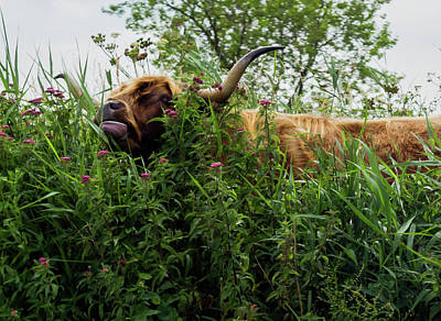 Poster featuring the photograph Highland Cow In Tall Grass by Scott Lyons