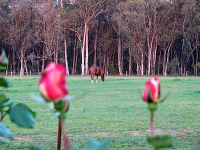 Horse And Roses Poster