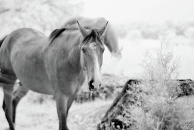 Horse In Infrared Poster