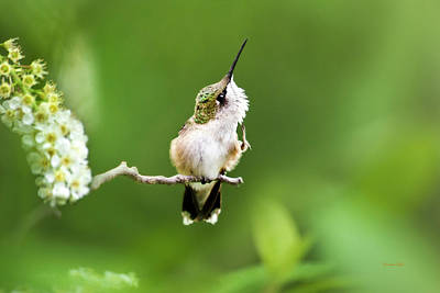Poster featuring the photograph Hummingbird Flexibility by Christina Rollo