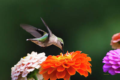 Poster featuring the photograph Hummingbird In Flight With Orange Zinnia Flower by Christina Rollo