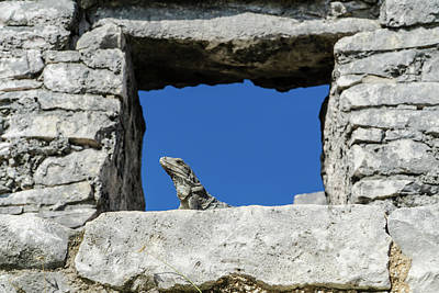Iguana At Tulum Ruins Poster