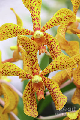 Intriguing Yellow Spider Orchids Poster