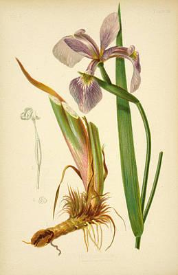 Iris Versicolor Blue Flag Poster