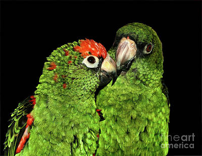 Poster featuring the photograph Jardine's Parrots by Debbie Stahre