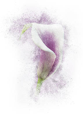 Lavender Calla Lily Flower Poster