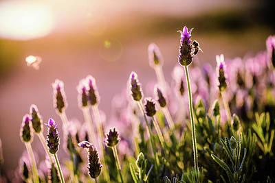 Lavender Sunrise Poster