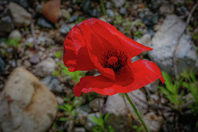 Lone Red Flower Poster