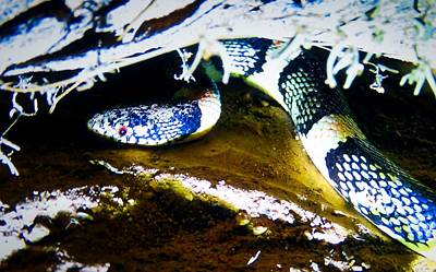 Poster featuring the photograph Longnosed Snake In The Desert by Judy Kennedy