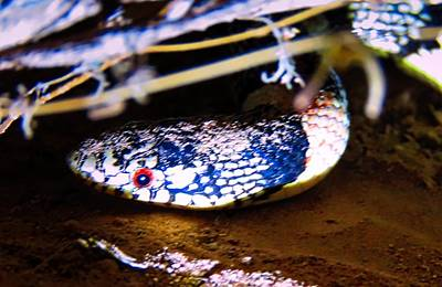 Poster featuring the photograph Longnosed Snake Portrait by Judy Kennedy