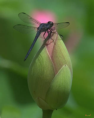Poster featuring the photograph Lotus Bud And Slaty Skimmer Dragonfly Dl0006 by Gerry Gantt