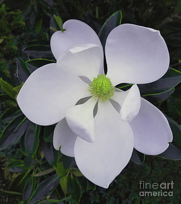 Poster featuring the painting Magnolia Flower Photo F9718 by Mas Art Studio
