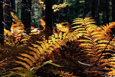 Maine Autumn Ferns Poster