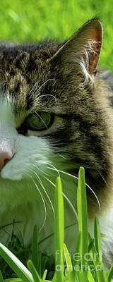 Poster featuring the photograph Maine Coon Cat Photo A111018 by Mas Art Studio