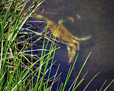 Poster featuring the photograph Maryland Blue Crab Lurking In An Assateague Marsh by Bill Swartwout Fine Art Photography