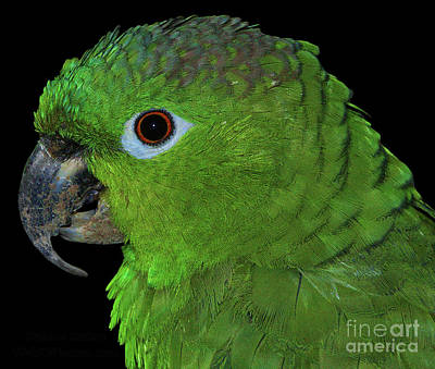 Poster featuring the photograph Mealy Amazon by Debbie Stahre