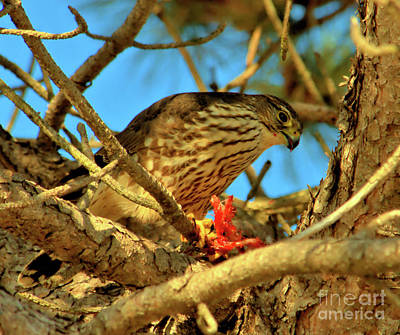 Poster featuring the photograph Merlin Eating Breakfast by Debbie Stahre
