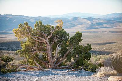 Mesquite In Nevada Desert Poster