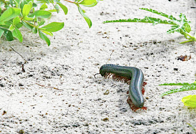 Poster featuring the photograph Millipede-namibia by PJ Boylan