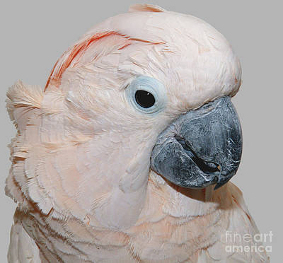 Poster featuring the photograph Moluccan Cockatoo by Debbie Stahre