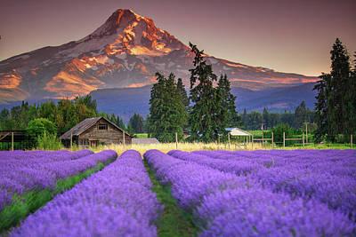 Mount Hood Lavender Field  Poster