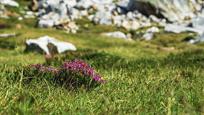 Mountain Heather Poster