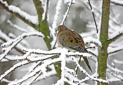 Mourning Dove In Snowstorm Poster