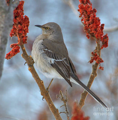 Poster featuring the photograph Northern Mockingbird by Debbie Stahre