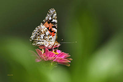 Poster featuring the photograph Painted Lady Butterfly At Rest by Christina Rollo