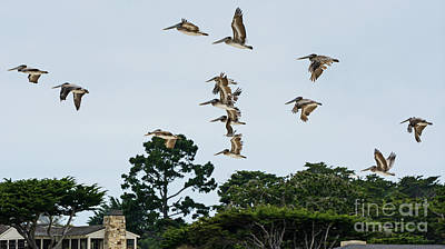 Pelicans Flying Above Homes Poster