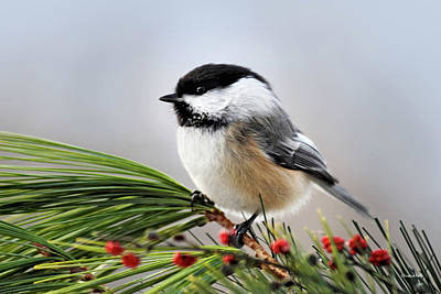 Poster featuring the mixed media Pine Chickadee by Christina Rollo