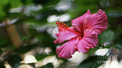 Poster featuring the photograph Pink Hibiscus Flower by Pablo Avanzini