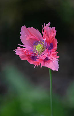 Poster featuring the photograph Pink Poppy by Dale Kincaid