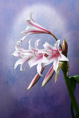 Pink Striped White Lily Flowers Poster
