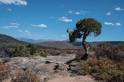 Pinyon Pine With North Rim In Background Black Canyon Of The Gunnison Poster