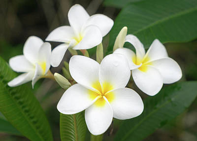 Pleasing Plumeria Poster