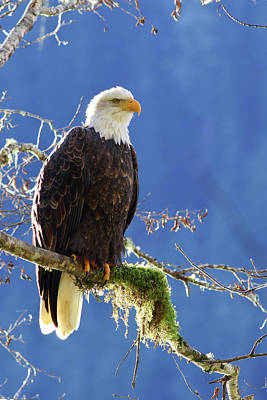Portrait Of A Backlit Bald Eagle In Squamish Poster