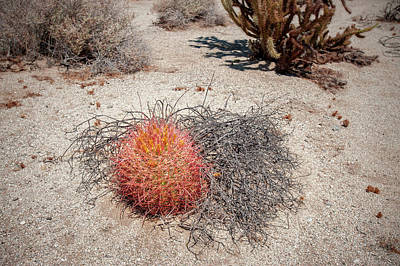 Red Barrel Cactus And Mesquite Poster