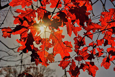 Poster featuring the photograph Red Fall Leaves by Meta Gatschenberger