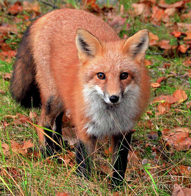 Poster featuring the photograph Red Fox by Debbie Stahre