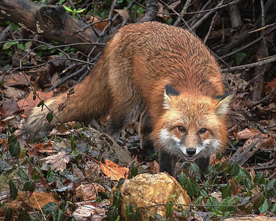 Poster featuring the photograph Red Fox Dmam0049 by Gerry Gantt