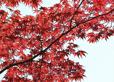Poster featuring the photograph Red Japanese Maple Leaves by Debi Dalio