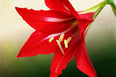 Red Lily Flower Poster
