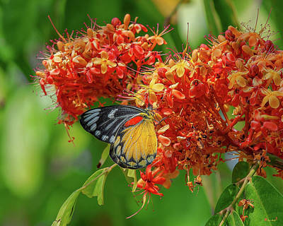 Poster featuring the photograph Red-spot Jezebel Butterfly Dthn0235 by Gerry Gantt