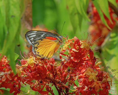 Poster featuring the photograph Red-spot Jezebel Butterfly Dthn0236 by Gerry Gantt
