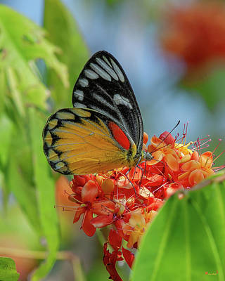 Poster featuring the photograph Red-spot Jezebel Butterfly Dthn0237 by Gerry Gantt